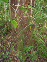 tree base at el verde field station